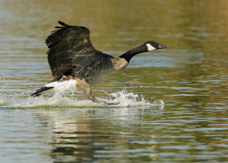 Canada Goose, landing