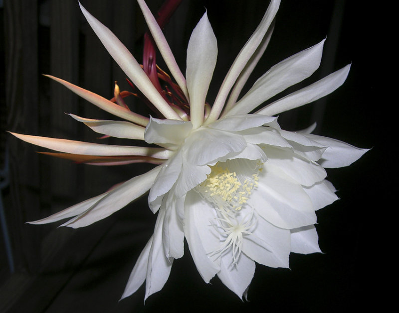 night of the blooming cereus 126
