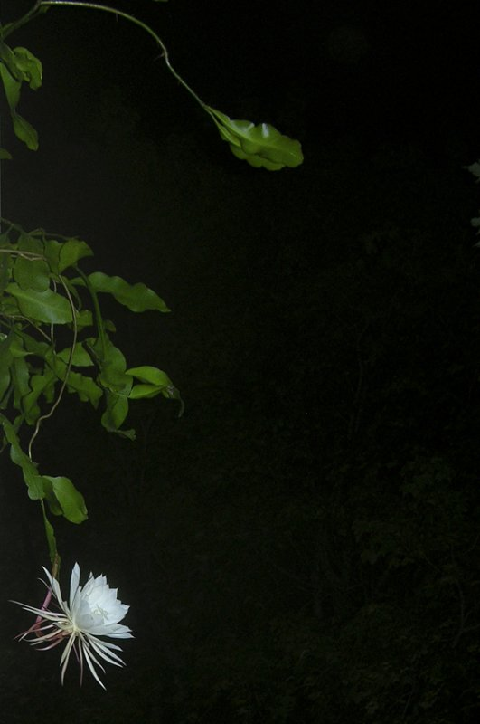 night of the blooming cereus 100