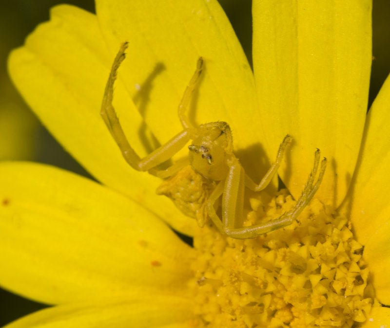 yellow crab spider in chrysanthemum.jpg