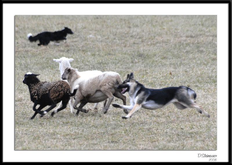 ds20060114_0091awF Chasing Sheep.jpg