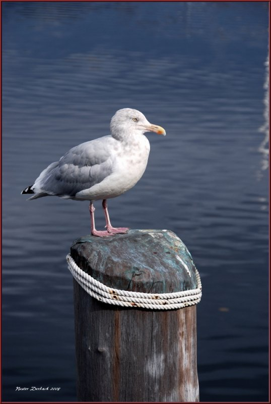Seagull on weathered  piling .