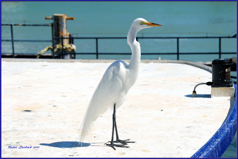Great Egret standing tall on the ship deck as if he was in command ,a captains hat would have made it official.