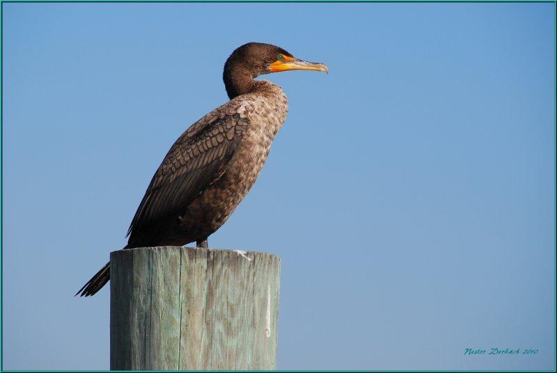 Comorant  at Indain shores Florida.