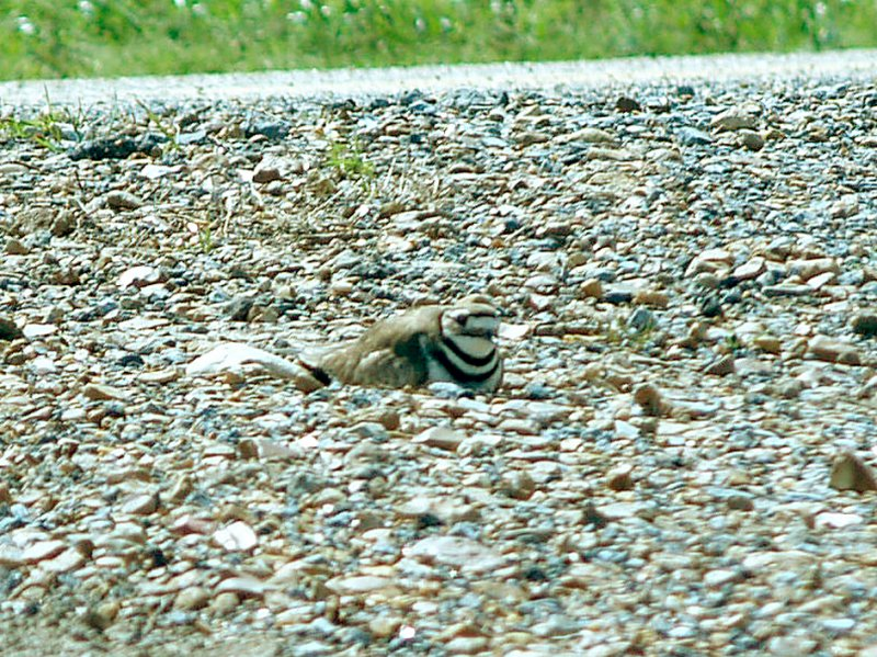 Killdeer - roadside nest