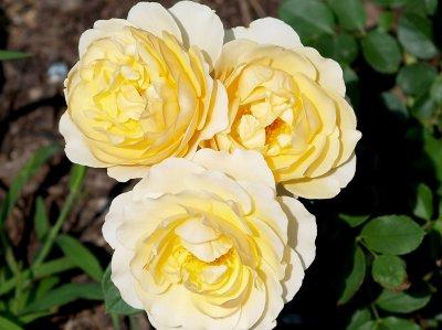 House - Flowers - 5-24-10  Graham Thomas - fragrant yellow rose.