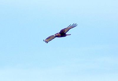 Red-tailed Hawk - adult rufous morph - 1-29-06 sailing.jpg