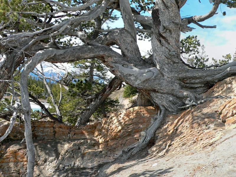 Ancient pine, Whirlpool Point