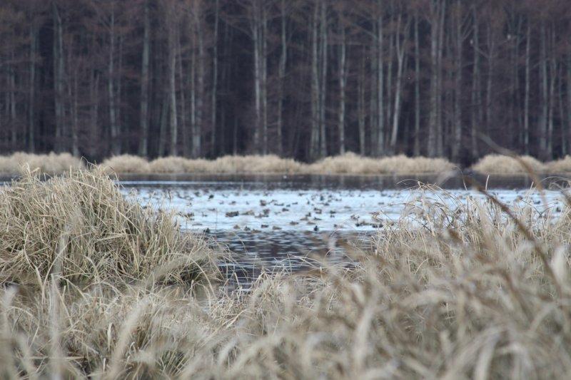 Ducks on Lake 0452