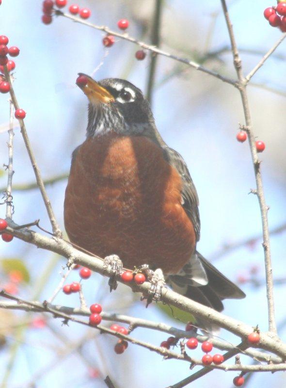 4210 Robin.JPG