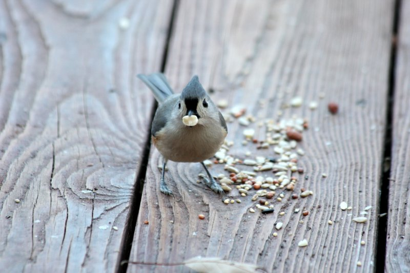 4939 Tufted Titmouse Caught with its mouth full