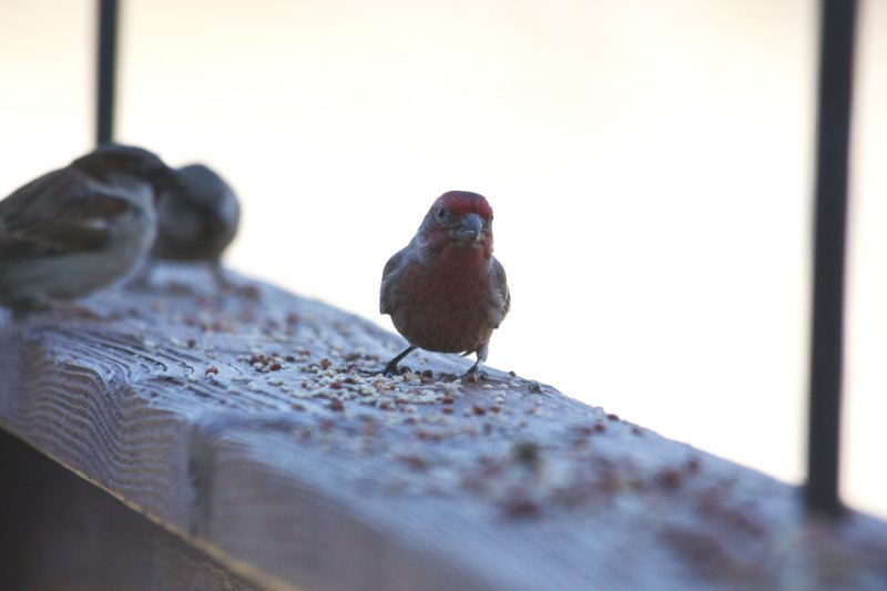 4943 House Finch (m)