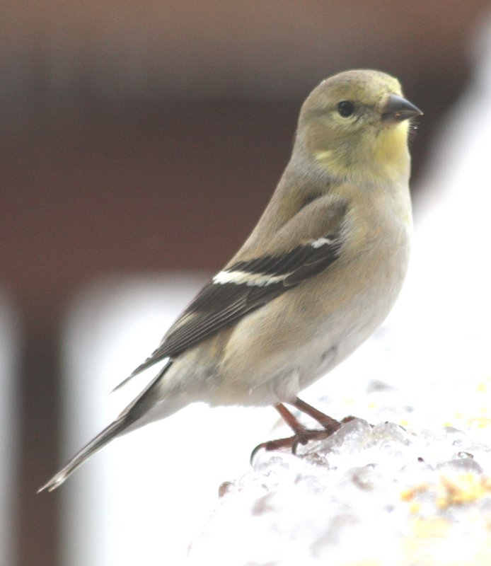 5162 Am Goldfinch.JPG