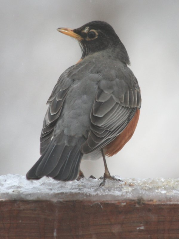 5165 Am Robin on Ice.JPG