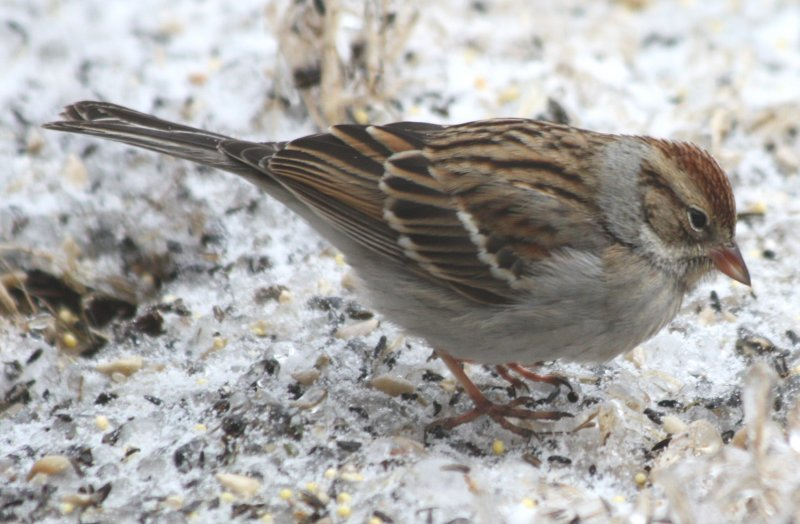 5188 Chipping Sparrow.JPG