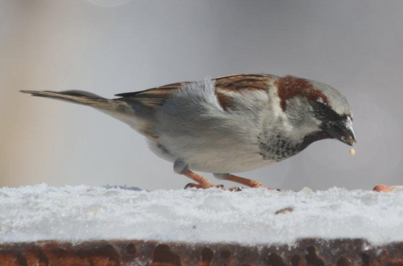 5281 Hs Sparrow m.JPG