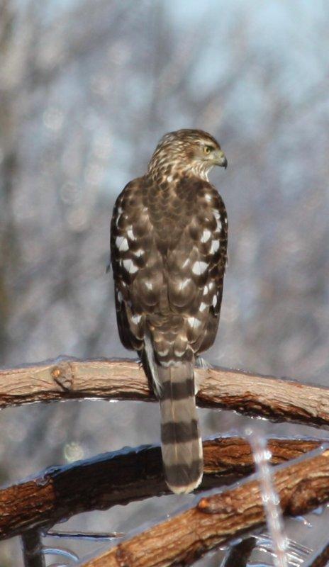 5305 Sharp-shined Hawk.JPG