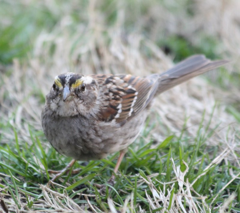 5791 Wht Throated Sparrow.JPG