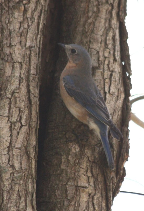 5826 Bluebird f.JPG
