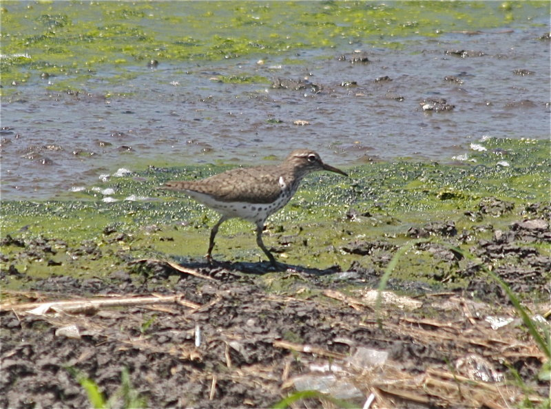 7332 Spotted Sandpiper