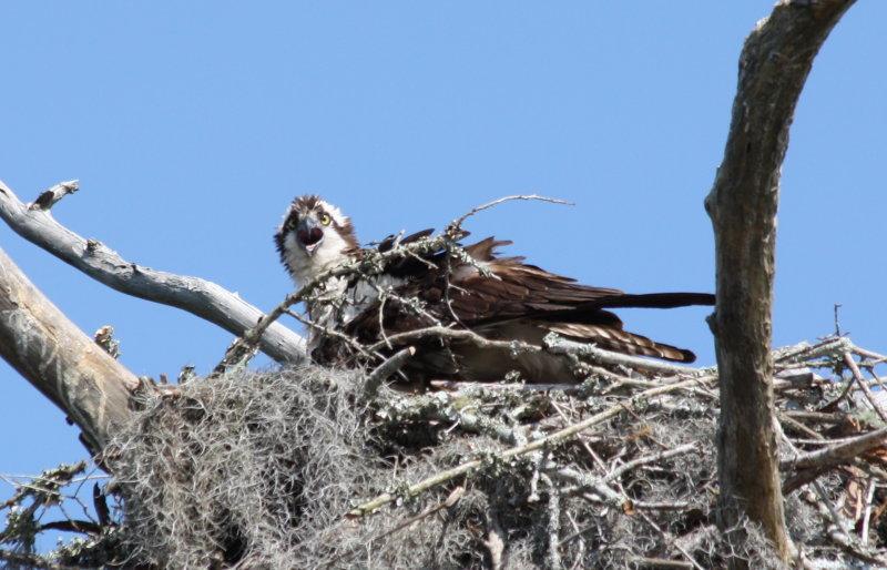 8358 Osprey on Nest