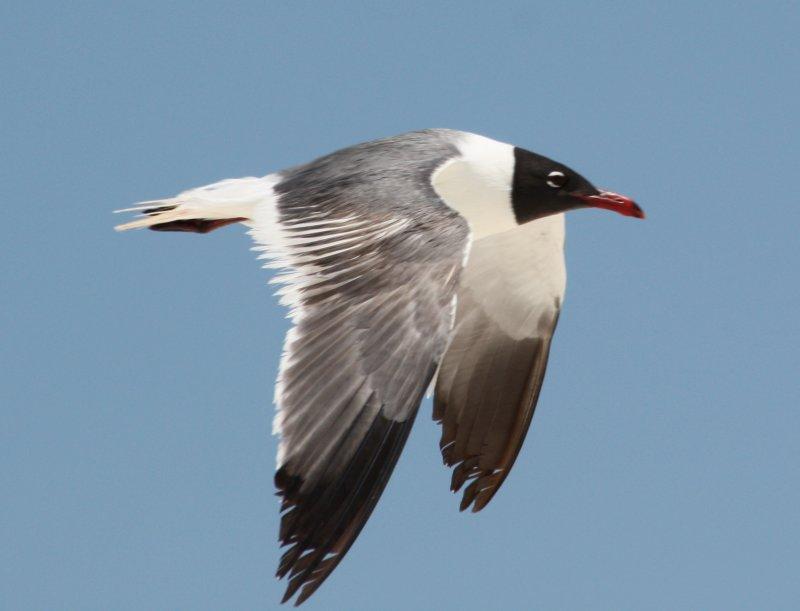 8464 Laughing Gull