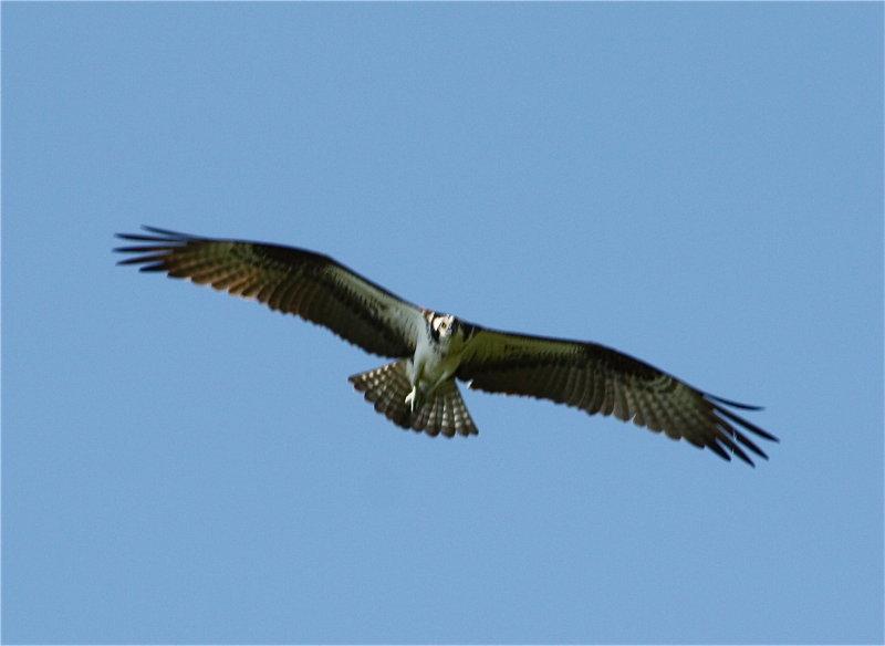 8409 Osprey