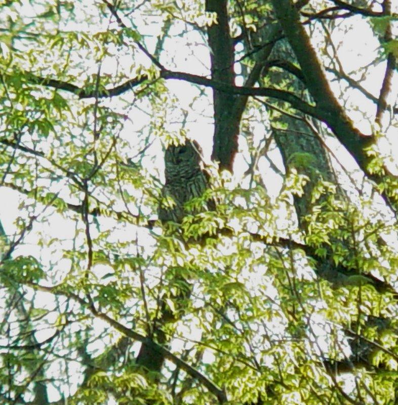 111-01061 Barred Owl.JPG