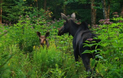 Mama Moose and Calf in a Patch of Joe Pye Weed