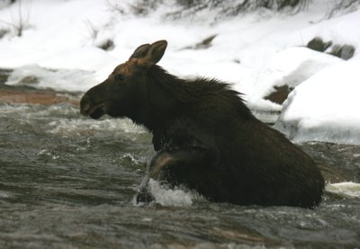 Calf Bull Moose Fording the Swift River (a)