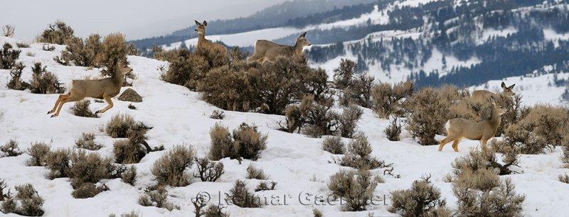 194 Mule Deer P.jpg