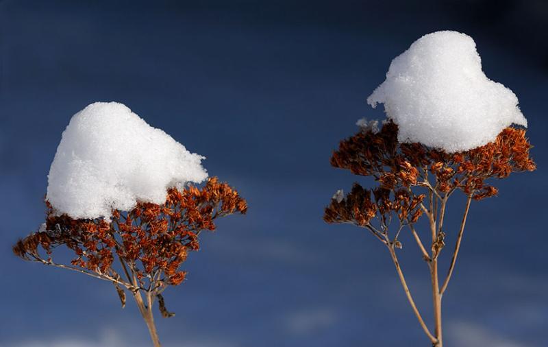 71 Winter Sedum.jpg