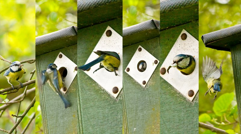 Busy bluetit