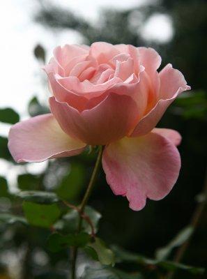 the last rose in my garden