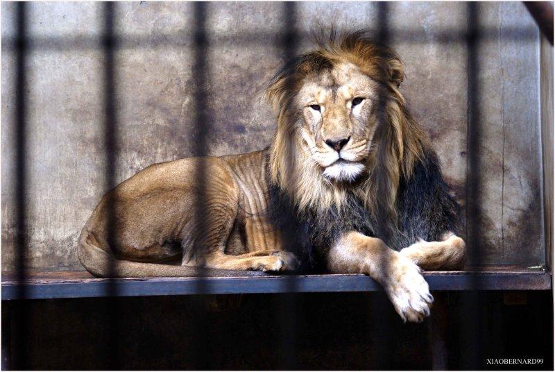 LION in BEIJING ZOO.