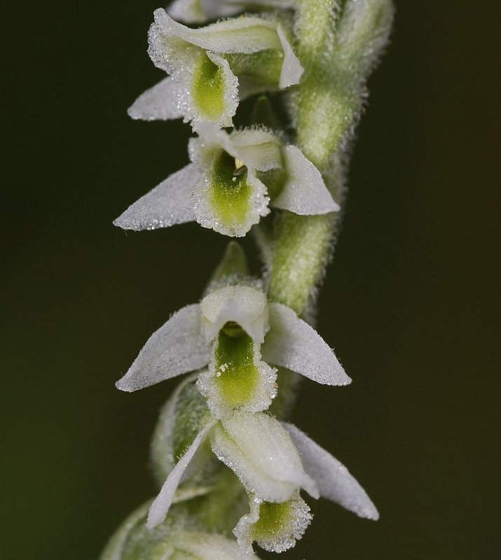 Spiranthes spiralis close-up.(Limburg)