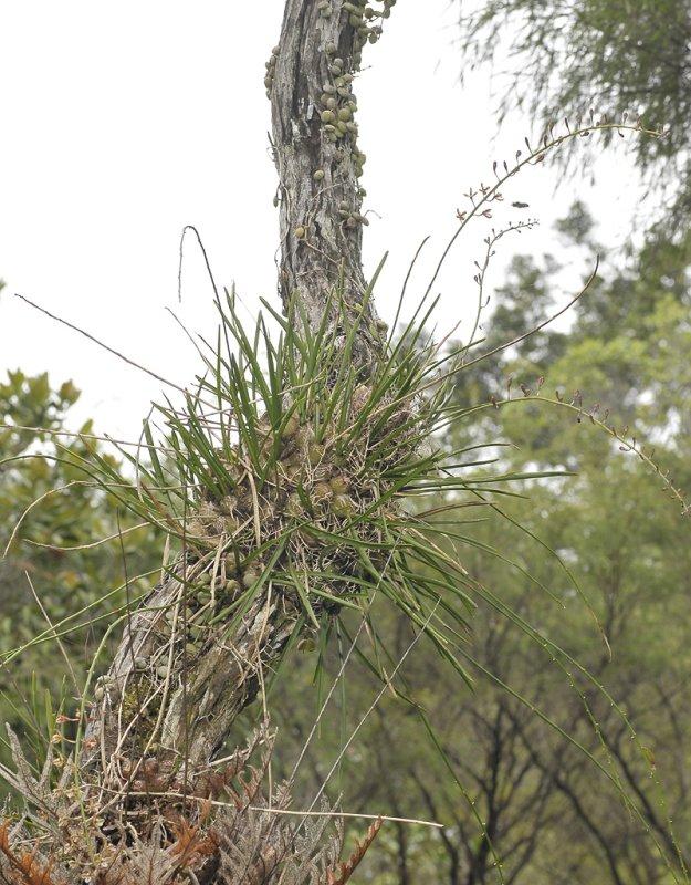 Acriopsis ridleyi.