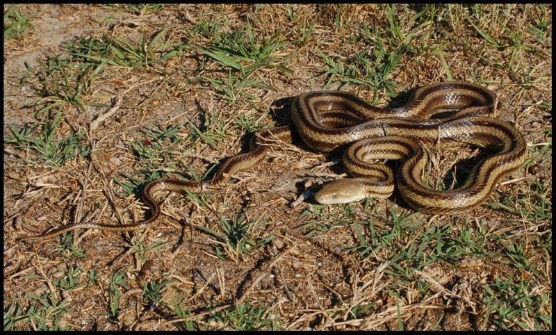 Yellow Rat Snake (Pantherophis obsoleta quadrivittata)