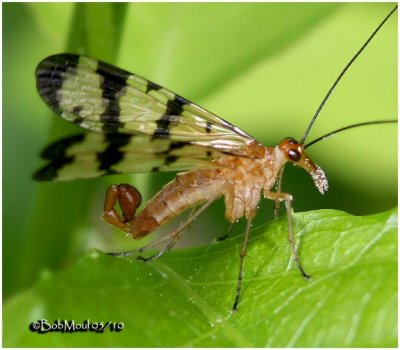 Scorpionfly-Male