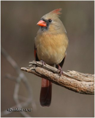 Northern Cardinal-Female