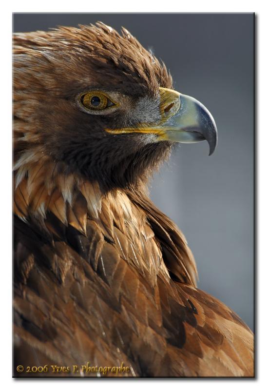 Golden Eagle ...