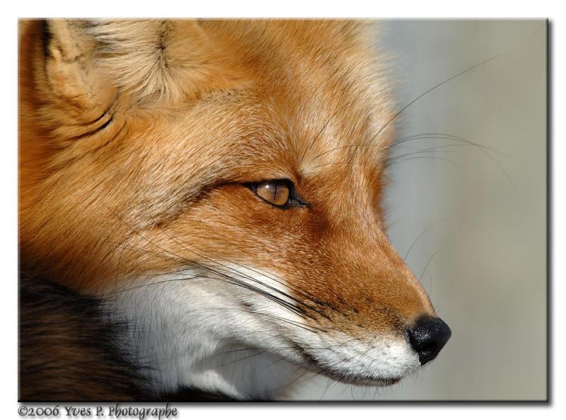 Foxy ...