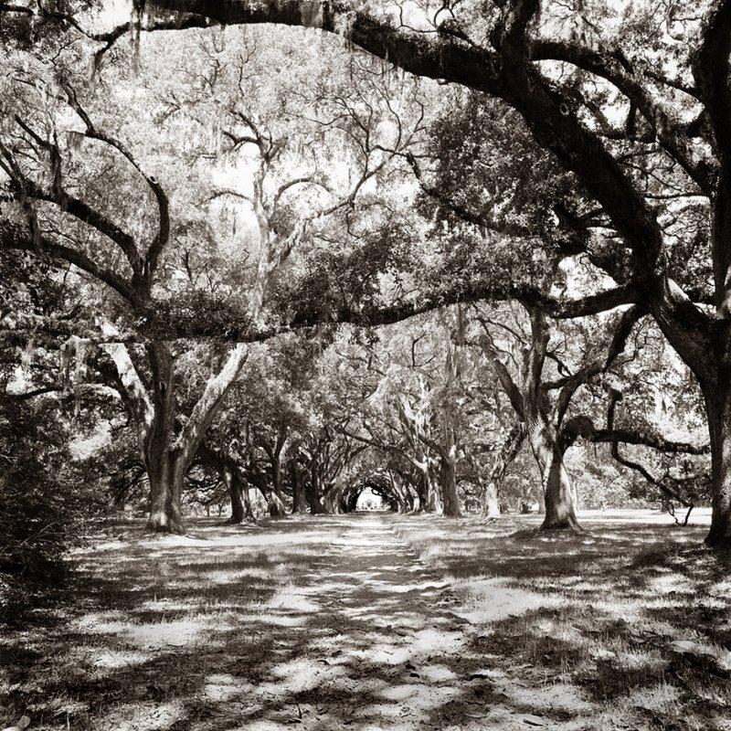 The Oak Allee