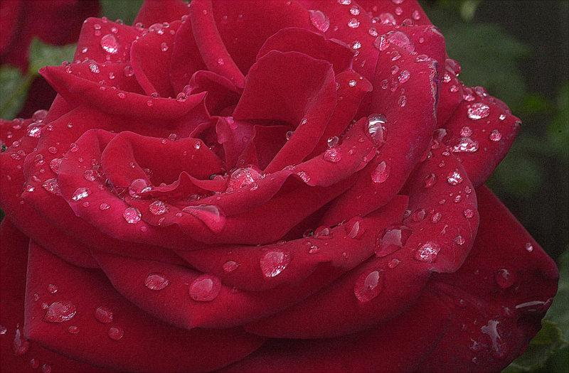 rain-rose.jpg