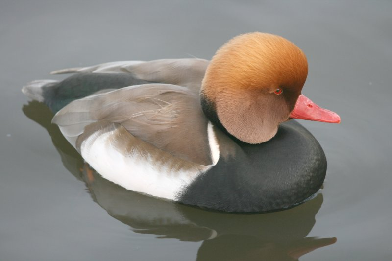 Red Crested Pochard.