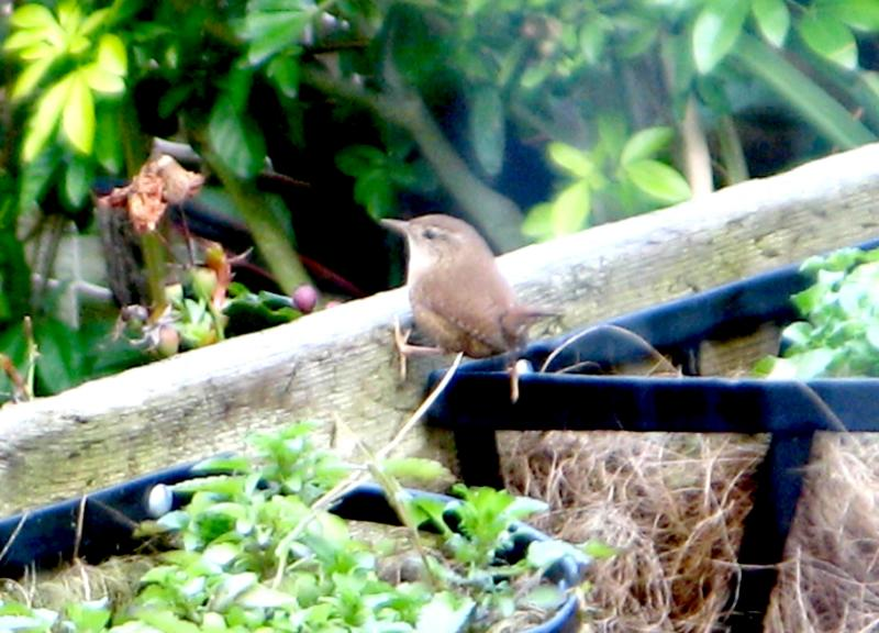 My 1st ever picture of a Wren.
