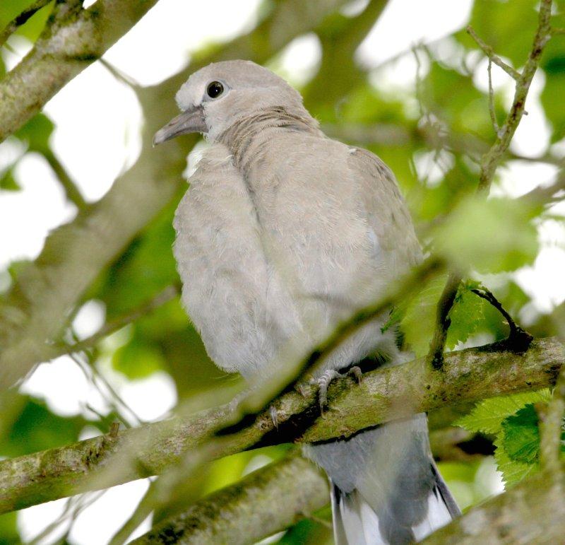 A Dove.