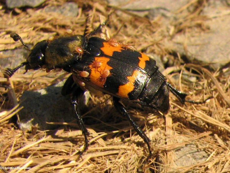 Carrion beetle (<em>Nicrophorus</em> sp.) with mites