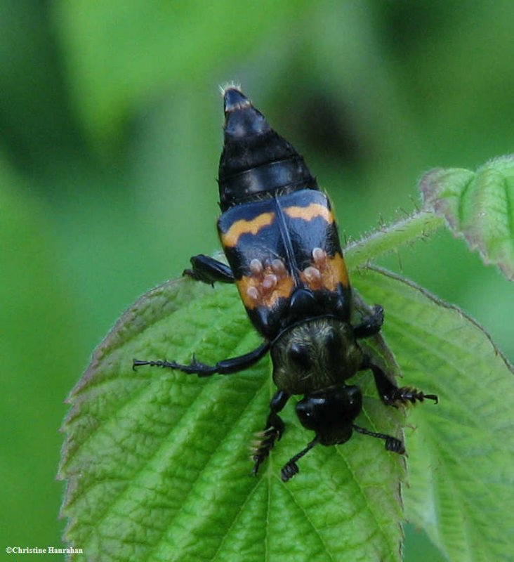 Carrion beetle (<em>Nicrophorus</em> sp.) with mites