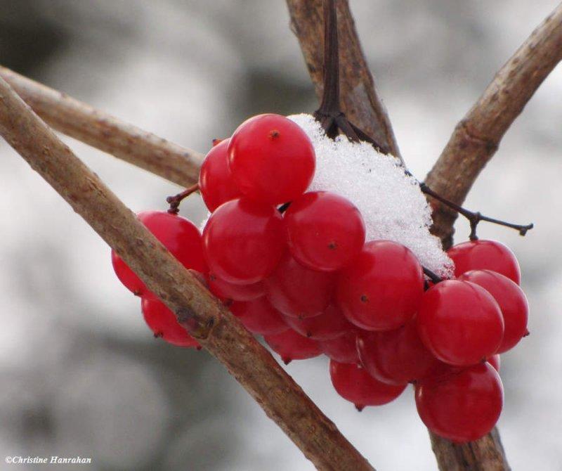 Highbush cranberry (<em>Viburnum trilobum</em>)